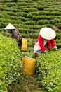 Da lat viet nam july two woman wear conical straw hat pick browse from tea plant and put into basket at tea plantation Royalty Free Stock Photography