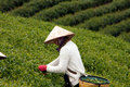 Da lat viet nam july woman wear conical straw hat pick browse from tea plant and put into basket at tea plantation Royalty Free Stock Photo