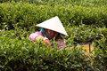 Da lat viet nam july woman wear conical straw hat pick browse from tea plant and put into basket at tea plantation Stock Photos