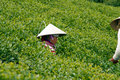 Da lat viet nam july woman wear conical straw hat pick browse from tea plant and put into basket at tea plantation Royalty Free Stock Images