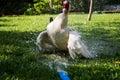 Dabbling ducks animal drake winter Royalty Free Stock Images