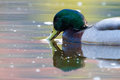 Dabbling mallard green and white male on a colorful pond in the morning sun Stock Image
