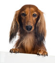 Dachshund, 4 years old, leaning on a white plank Stock Photo