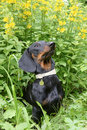 Dachshund  against  yellow flowers Point loosestrife Stock Image