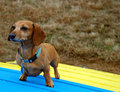 Dachshund on Agility Equipment Royalty Free Stock Image