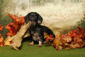 Dachshund in an autumn woods Stock Photo