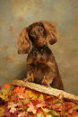 Dachshund on Chair back with Autumn Leaves Royalty Free Stock Photography