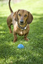 Dachshund de Brown Imagem de Stock Royalty Free