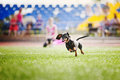 Dachshund dog brings the flying disc funny in jump Royalty Free Stock Images