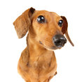 Dachshund dog close up Royalty Free Stock Photo