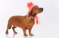 Dachshund dog dressed into hat and scarf Royalty Free Stock Photography
