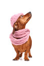 Dachshund dog dressed into hat and scarf Stock Images