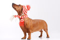 Dachshund dog dressed into hat and scarf Stock Image