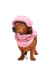 Dachshund dog dressed into hat and scarf isolated Royalty Free Stock Photo