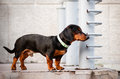 Dachshund dog in a fancy collar Stock Photos
