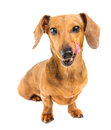 Dachshund dog feel yummy isolated on white Royalty Free Stock Photography