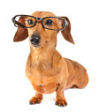 Dachshund dog with glasses over the white background Royalty Free Stock Photo