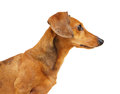 Dachshund dog isolated over white background Royalty Free Stock Image