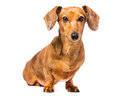 Dachshund dog isolated on white Stock Photography