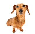 Dachshund dog isolated on white background Royalty Free Stock Photo