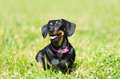 Dachshund dog in the park Royalty Free Stock Photo