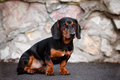 Dachshund dog portrait Royalty Free Stock Photo