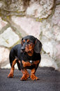 Dachshund dog portrait Stock Image