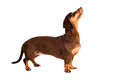 Dachshund dog portrait isolated Stock Image