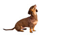 Dachshund dog portrait isolated Stock Photo