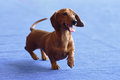 Dachshund on the dog show Royalty Free Stock Photo