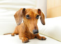 Dachshund dog on sofa Royalty Free Stock Image