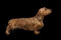 Studio Shot Of Dachshund Dog