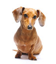 Dachshund dog with the white background Royalty Free Stock Photography