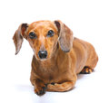 Dachshund dog with the white background Royalty Free Stock Photos