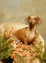 A dachshund dog in a Wicker Chair Royalty Free Stock Photos
