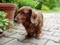 Dachshund in garden haired background Royalty Free Stock Photos
