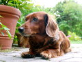 Dachshund in garden haired background Stock Photo