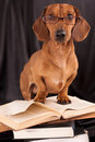 Dachshund in glasses Stock Images