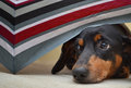Dachshund hiding close up of dog under colorful umbrella Stock Photos