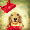 Dachshund opening a magic box dog red Royalty Free Stock Photos