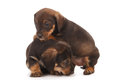 Dachshund puppies embracing Stock Image
