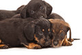 Dachshund puppies isolated on white Royalty Free Stock Photo