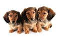 Dachshund puppies three longhair isolated on white Royalty Free Stock Image