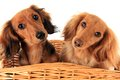 Dachshund puppies two in a basket i asked them if they wanted a treat and these are the faces they gave me Royalty Free Stock Photos