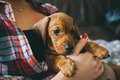 Dachshund puppy in hands of its owner