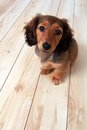 Dachshund puppy longhair on a hardwood floor Stock Image