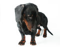 Dachshund puppy, 4 months old Royalty Free Stock Photo