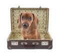 Dachshund puppy sits in a vintage suitcase Stock Image