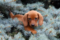 Dachshund puppy sitting on a tree branch Stock Images