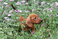 Dachshund puppy smelling flower in park Stock Photography